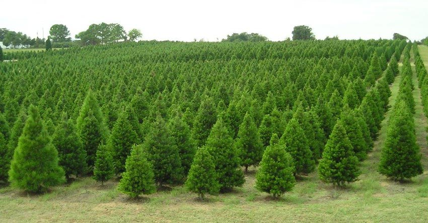 Where To Cut Your Own Christmas Tree In Austin